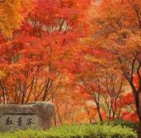 楓紅東北 長白山 紅葉谷 鏡泊風光 萬達度假村 哈爾濱 溫泉八日