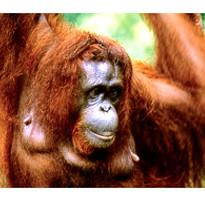 雙十連休跟團省♯《雙十連休》星想古晉~砂勞越文化村、熱帶雨林巴哥國家公園、紅毛猩猩保護區、酷閃新加坡5+1日(含稅)