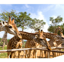 《最高減3000》我的小城故事~聖獅公園、湄登叢林騎象、夜間野生動物園、蘭娜古城5日(含稅)