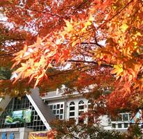【愛上賞紅葉】高尾山、河口湖、箱根紅葉賞、三麗鷗彩虹樂園、迪士尼5日