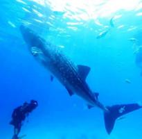 【超值宿霧】鯨鯊共舞~沙丁魚風暴~長榮直飛5日【含稅燃】【無購物】(含稅)