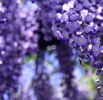 【日本黃金週限定團】《幸福關西》MIHO桃花源、遇見紫色愛情雨~浪漫紫藤花季5日*******早鳥前10名贈小費(1/31止)*******