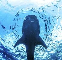 菲趣宿霧~與鯨共舞、薄荷島、雙跳島浮潛、二晚海濱度假村5+1日(兩人成行/含稅)